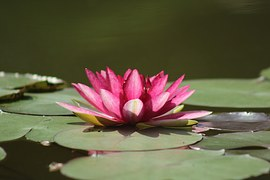 water-lilies-1025523__180
